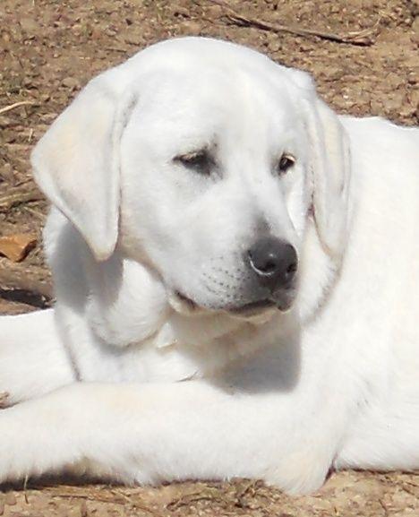 Snowy River White Labs Arkansas Looks Just Like My Rex What A Nice Looking Dog Labrador Retriever Puppies Labrador Retriever