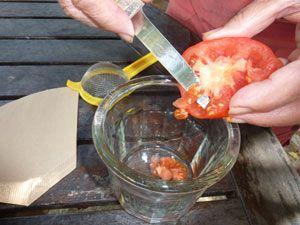 Récolte des graines de tomate Il est avantageux de recueillir vous même les semences de tomates de vos variétés préférées.
