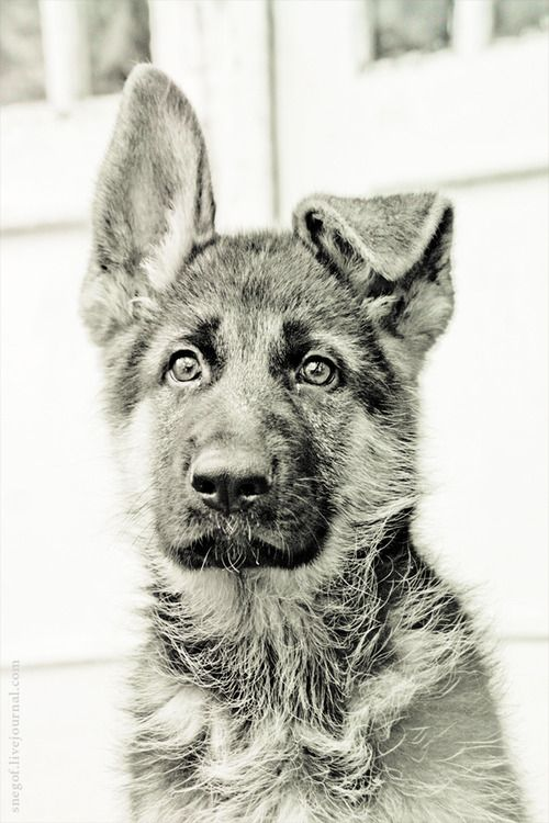 Looks so much like my German shepherd mix, Wolf, that I had when I was a teenager. I miss that dog.