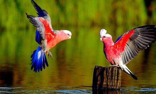 Desktop Images Of Love Birds Set For Pc Mac Tablet Laptop Mobile Wallpaper African Grey Parrot Pet Birds Australian Parrots