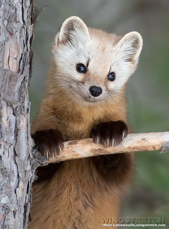 Pine Marten Cute Pose by Marc Latremouille on 500px