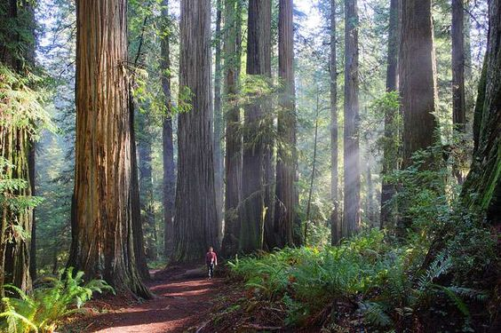 The Boy Scout Tree Trail in Jedediah Smith Redwoods State Park. {A little over five miles, but well worth every step. ~g.j. }
