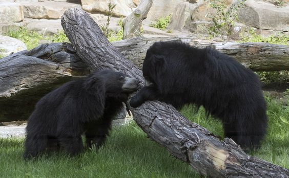 Sloth bears at the new facility ZOOOOOOO CUUUUTEEEEE like 20 euro.
