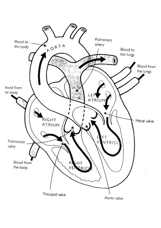 Heart color diagram heart coloring pages elsavadorla for Healthy heart coloring pages