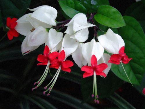 LÁGRIMA DE CRISTO - BLEEDING HEART VINE - Trepadeira nativa de ÁFRICA  (Clerodendrum  Thomsoniae), de fácil cultivo e beleza extraordinária.