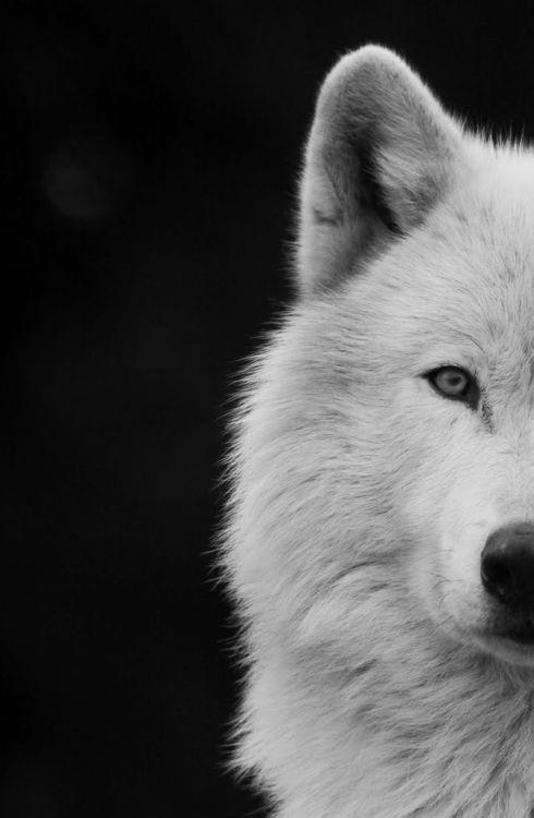 White Wolf And Black Wolf In Love White Wolf. | Wolves |...