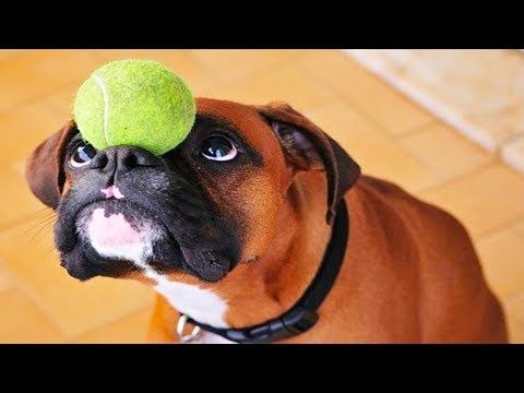 10 Funniest Boxer Videos 3 Funny Dogs Compilation Youtube