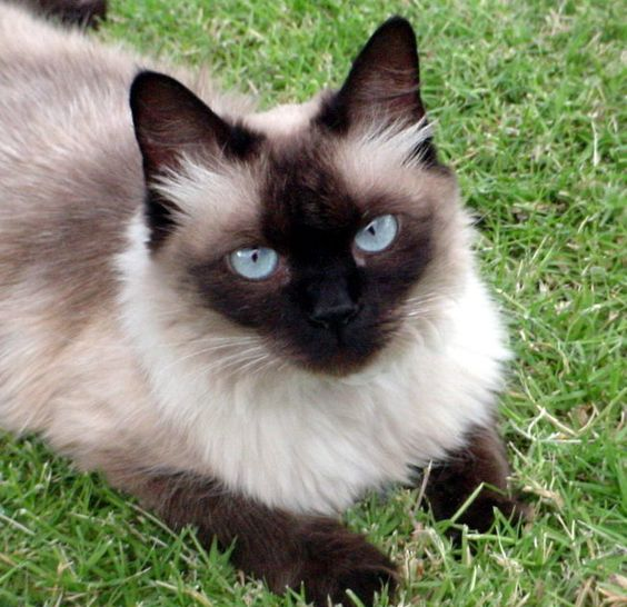 Pictures of Balinese Cat Breed