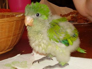 Quaker Parrot! Obsessed with this baby.