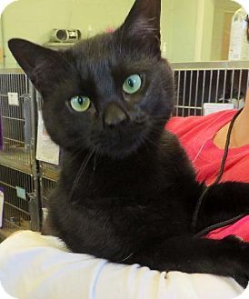 Westampton, NJ - Domestic Shorthair. Meet C-57546 Buddy a Cat for Adoption.