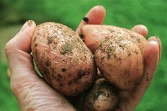 growing potatoes organically: when and how to plant, hill and harvest - A Way To Garden