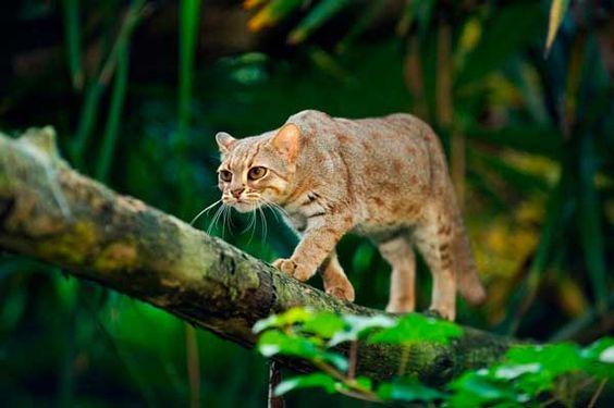 Rusty Spotted Cat Medindo apenas 20-30 centímetros de comprimento, o Rusty Spotted Cat é o menor gato selvagem do mundo e vive Na Índia e Sri Lanka. Não sabemos quase nada sobre esse felino, apenas que está listado como vulnerável, porque muito do seu habitat foi transformado em terras para cultivo.