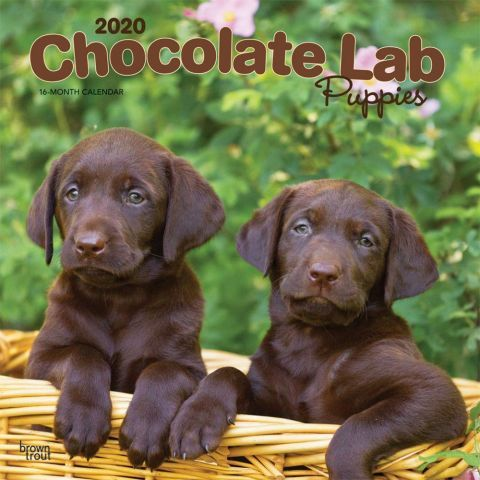 Chocolate Labs 2020 Calendar Clumsy Playful And Friendly Chocolate Labrador Retriever Puppies Are Fun To Snu Lab Puppies Chocolate Lab Puppies Dog Calendar