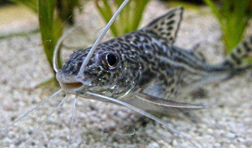 10 Types Of Catfish For A Freshwater Aquarium Aquarium Catfish Catfish Fishing Freshwater Catfish