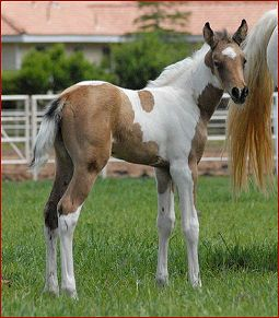 smooth-coated curly filly