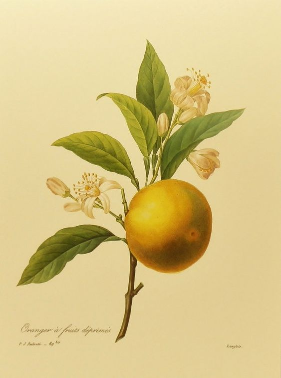 Botanical Illustration, Bittersweet Orange Blossom Art ...