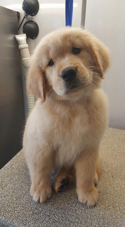 Golden Retriever Noble Loyal Companions Babyhunde Susse Tiere