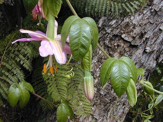 File:Starr 010423-0060 Passiflora tarminiana.jpg