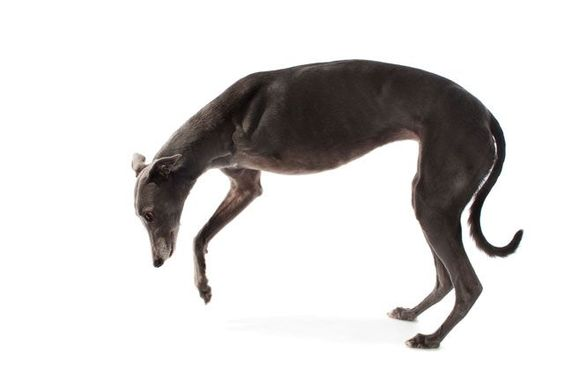 11 Rescue Animals That Deserve All The Love #refinery29  http://www.refinery29.com/disabled-animals-photo-series#slide-1  Hannah, a three-legged greyhound, was rescued by Greyhound Angels WA. She now lives in Western Australia. ...