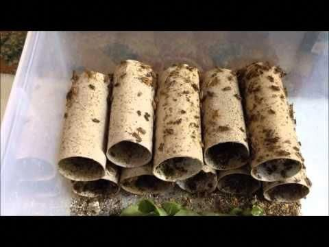 Black Crickets For Bearded Dragons