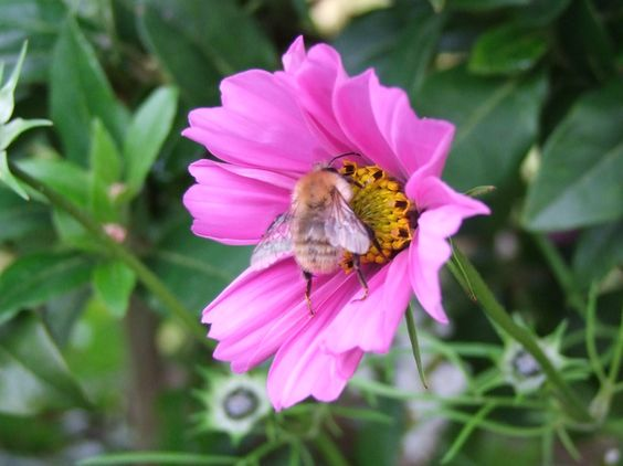 A bumblebee on a Cosmos.  It is very important to provide flowers that bees like in our gardens as they are now struggling to survive.