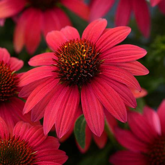 New Colors For Coneflowers Echinacea 'Baja Burgundy' Coneflowers are staple garden perennials that no full-sun border