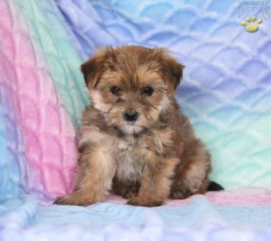 Ken Morkie Puppy For Sale In Gap Pa Lancaster Puppies