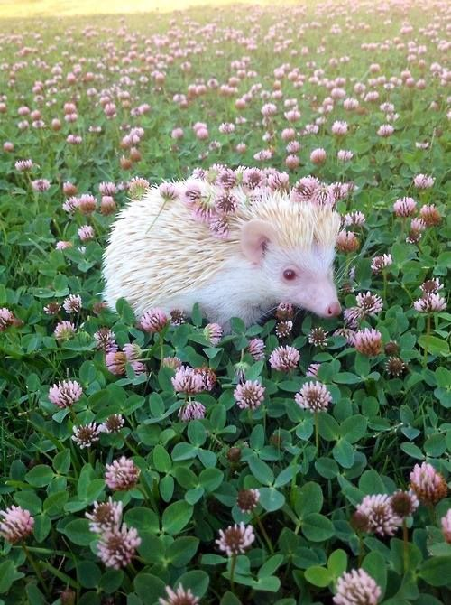 Albino hedgehog I don't really want to put it down though: