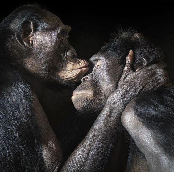 chimpanzees kissing: