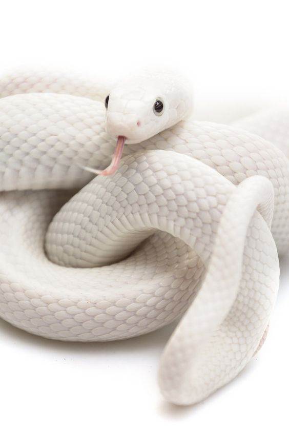 Monochromatic Moments White On White White Snake Ready To Rumble Cute Reptiles Snake Wallpaper Cute Snake