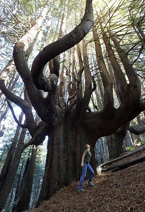 """500 year old Candelabra Redwoods growing the """"Enchanted Forest"""" on Shady Dell in California"""