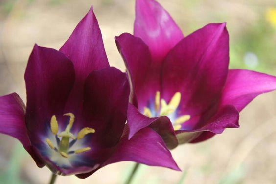 Tulipe.
