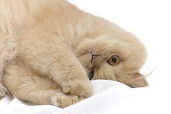 #BaiduImage imagens de gatos persas_Pesquisa do Baidu