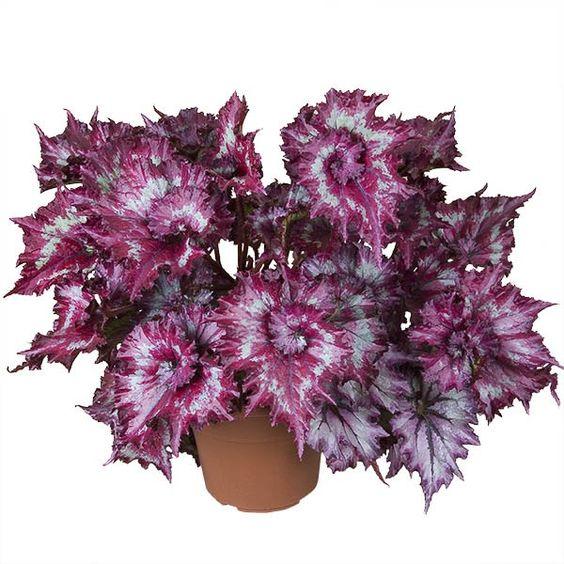 Begonia 'Tie Dye' (Begonia rex hybrid):