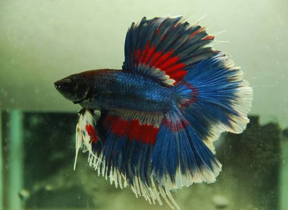 rainbow betta fish fish facts tropical fish