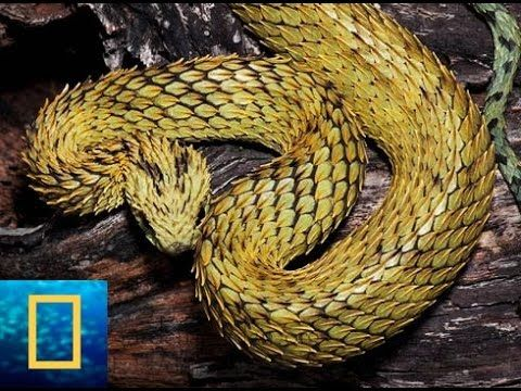 [National Geographic Channel] Vengeance of Giant Python  in Florida-Wild...