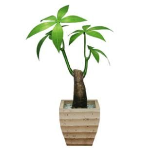 Zimmerpflanze gl ckskastanie dekorativ papiermodelle for Zimmerpflanzen dekorativ