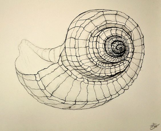 Making linedrawings - this one is a cross contour drawing of a shell