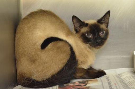 Urgent Kill Shelter Philadelphia Pa Siamese Meet Sagwa A Cat For Adoption Cat Adoption Kitten Adoption Newborn Kittens
