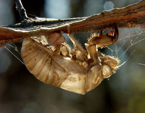Cicada Shell. We have shells in our tree. | Animal L♥ve ...