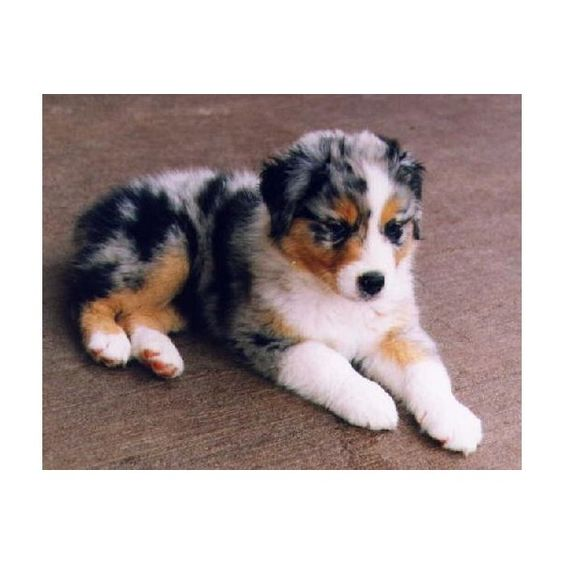 Australian Shepherd Puppy ❤ liked on Polyvore