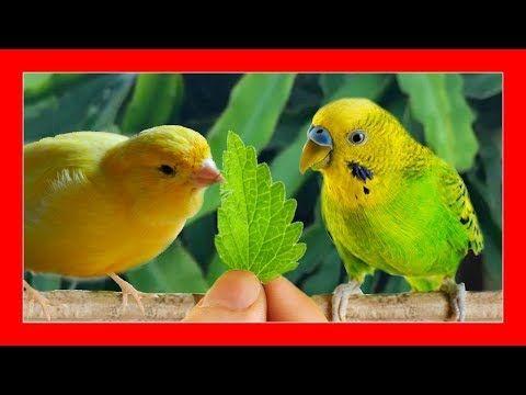 Por Esto Debes Darle Hierbabuena A Tus Pajaros Hierbabuena Para Canarios Y Aves Exoticas Youtube Canarios Pajaros Jaulas Para Periquitos
