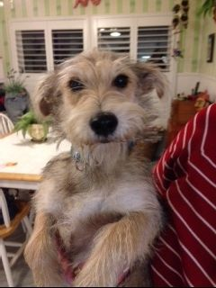 This is Bowie who is our adorable Schnauzer mix rescue weighing about 12 pounds.  He is so cute and gets along with other dogs and people. He is very sweet. He is neutered, current on vaccinations, and microchipped.  His adoption fee is $375 and...