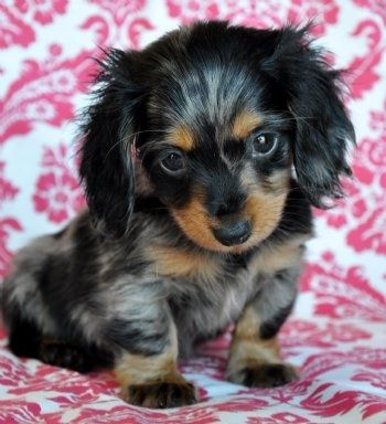 Dapple dachshunds puppies. Okay, what ever you want- here's treats, my bed, keys to the car, just please- don't look at me with those eyes again...