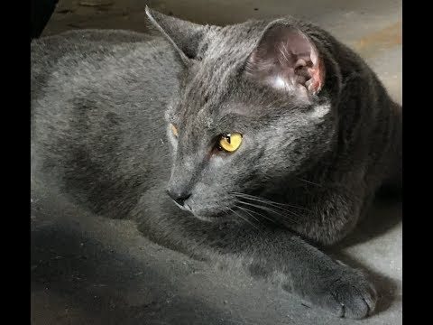 Pin On Russian Blue Cat