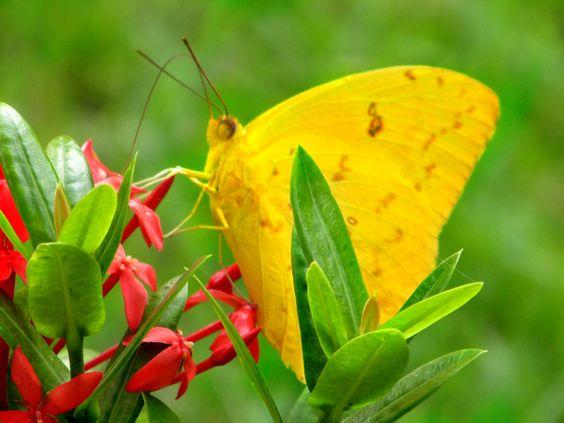 Borboleta Butterfly
