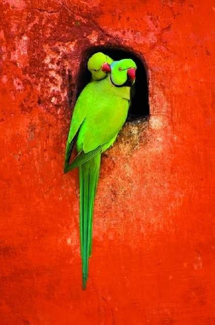 Green Indian ringneck parakeets on an orange wall.  Thx to @janeravenel for the real name of these birds!