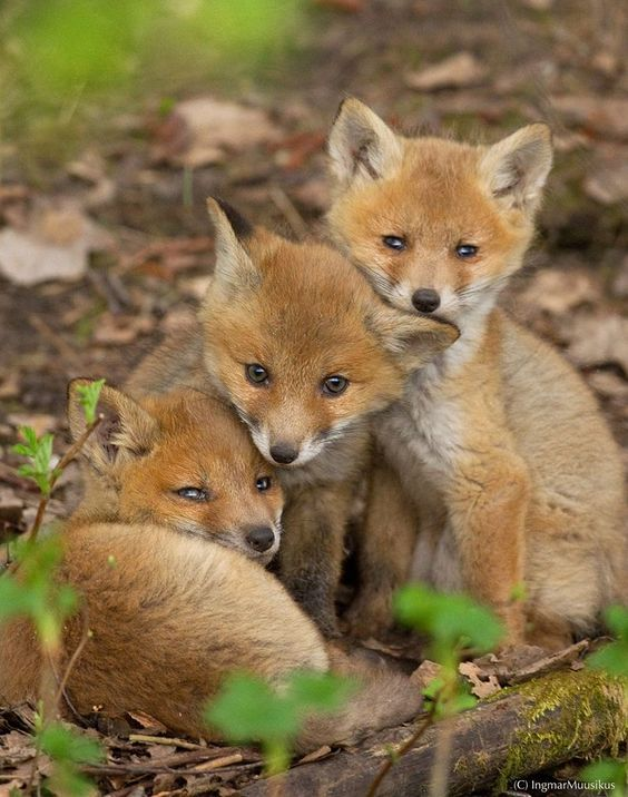 Red Fox Cubs by Ingmar Muusikus