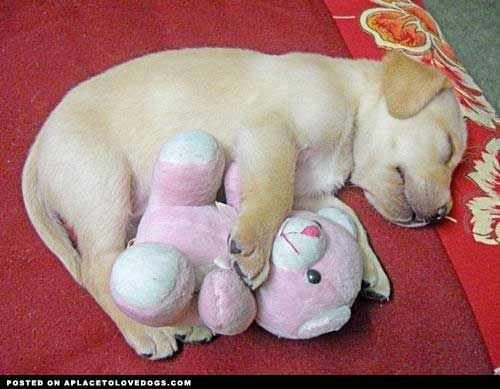 Me And My Teddy • dog dogs puppy puppies cute doggy doggies adorable funny fun silly photography