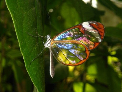 Nature posted this photo of a glass winged butterfly